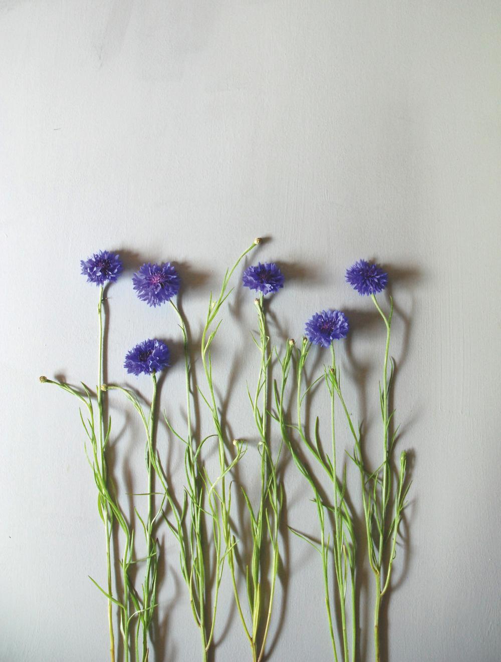 cornflowers.jpg