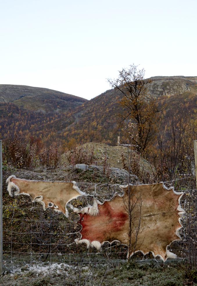 Reinsdyrflokken hentes ned fra vidda rett bak fjelltoppene. Alt blir brukt, og i Skaíddeduottar siida henger det skinn til tørk der det er mulig.