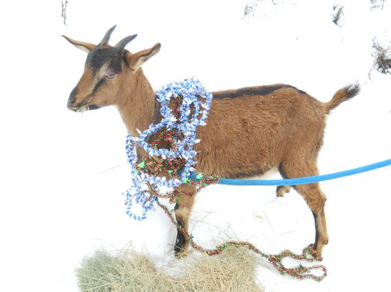 9 Yule Goat 2.JPG