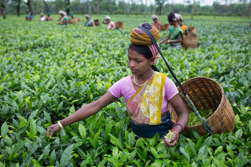 Steep Progress: How fair trade is rebuilding the tea industry one cup at a time    GOOD , March 4, 2015