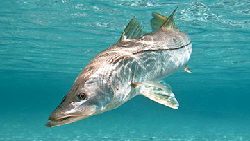 Florida_Sarasota_Seafood_Restaurant_Snook.jpg