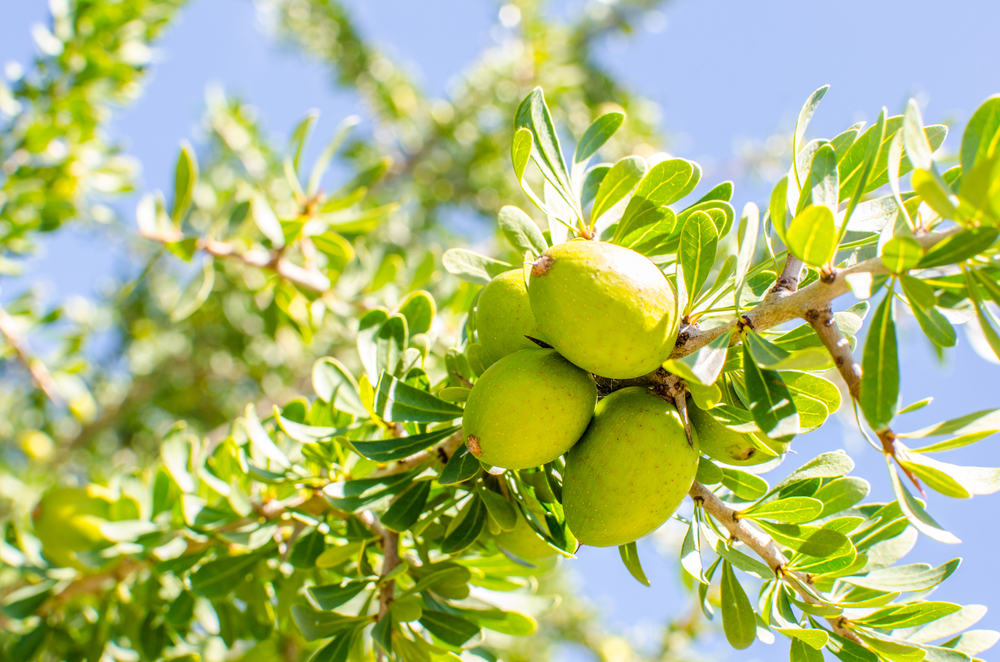 Argan fruit soaking up some sunshine on the Argan Tree, Morocco