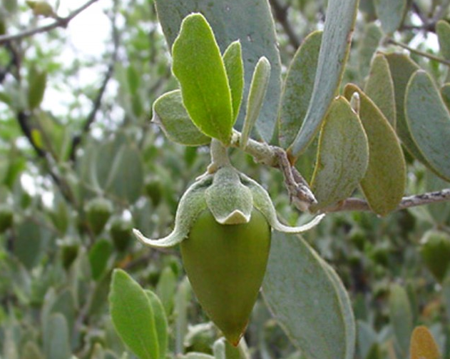 This is an image of the jojoba plant, where the oil is extracted from