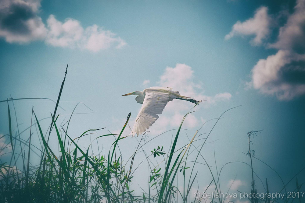 Flight of Freedom. Bird in Everglades. CassyParis.jpg
