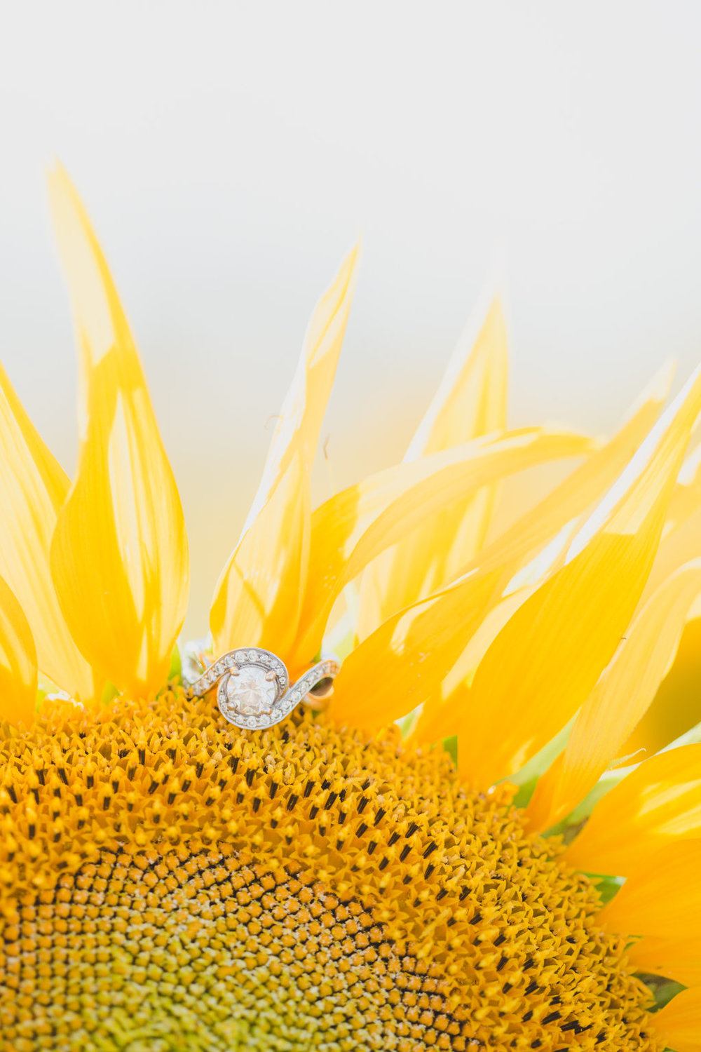 Sunflower Field Engagement Photos -- The Overwhelmed Bride Wedding Blog