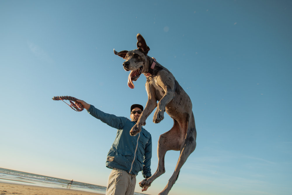Shelby the Great Dane -