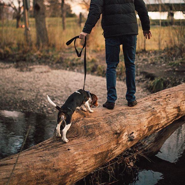 Cute lil beagle looking timid as he walks across the log, so tender. #lifewithpets
