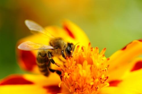 bigstock-Bee-Pollinating-Marigold-Flowe-65884153.jpg