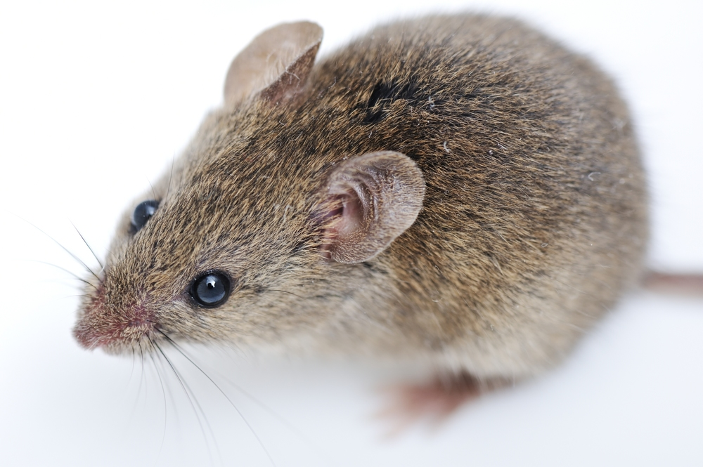 bigstock-Mouse-isolated-on-white-backgr-42894223.jpg