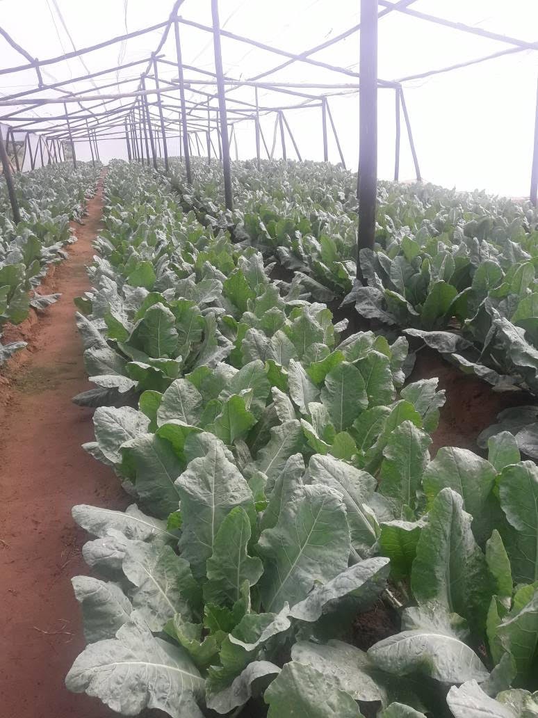 Zimbabwe Central Fund Greenhouse - Cauliflower March 2018.jpg