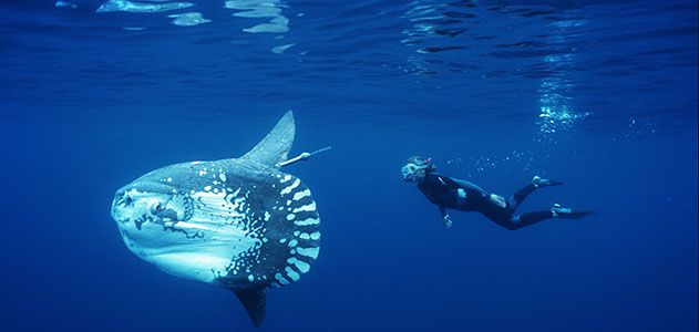 Ocean-Sunfish-Tierney-Thys-with-a-tagged-mola-631.jpg