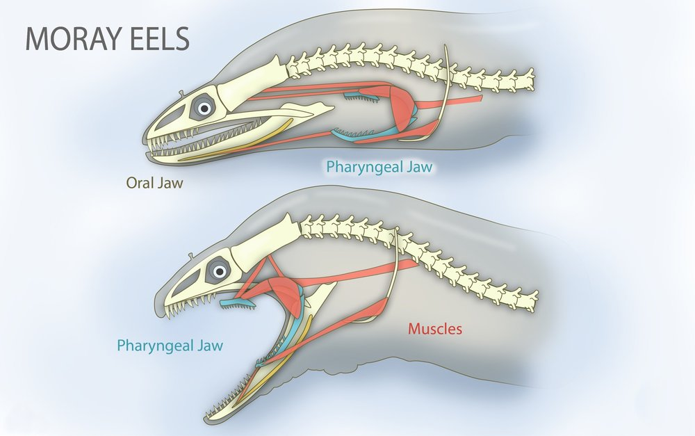 Pharyngeal_jaws_of_moray_eels.jpg