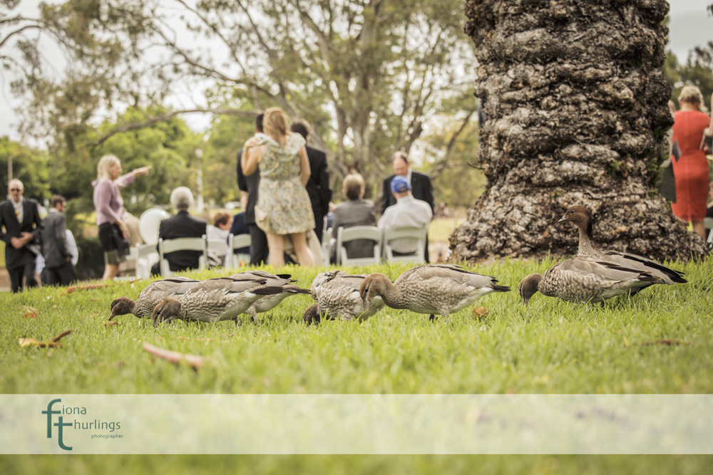 Even the ducks came to view the marriage