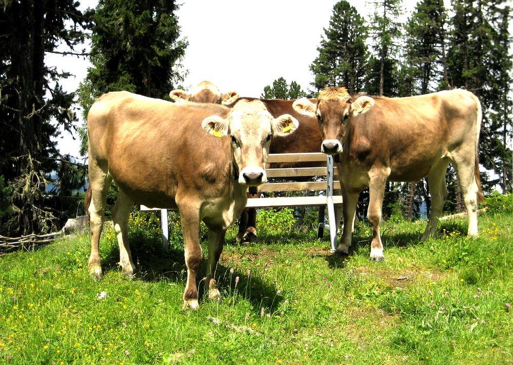 Kühe am Wegesrand.jpg