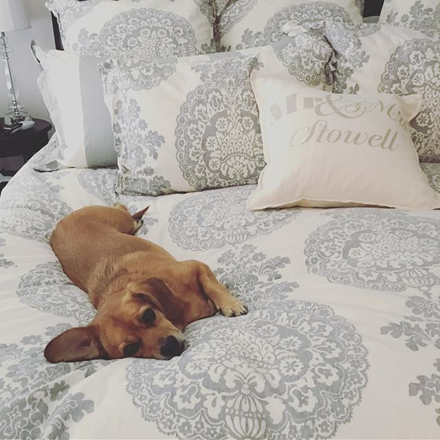 So hard to peel myself out of bed this AM... This one's still there taking the #laborday holiday verrry seriously! 😂🐾 http://liketk.it/2p7Yi @liketoknow.it #liketkit #puggle #pugglesofinstagram #pbpets