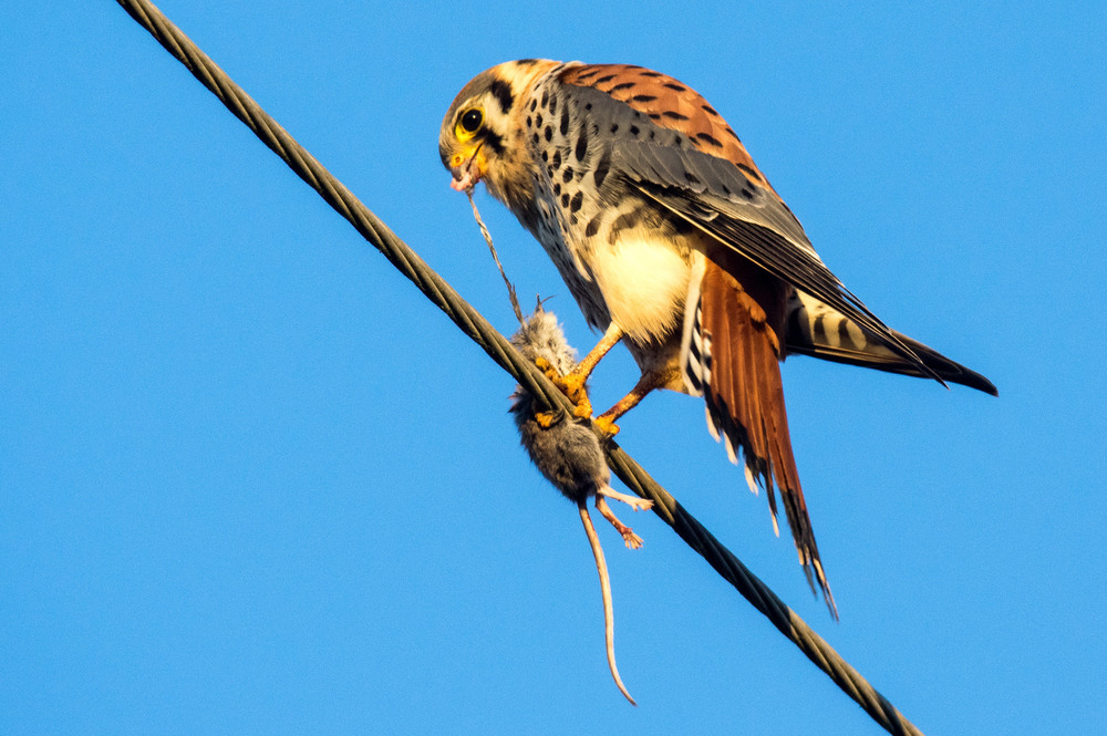 The American Kestrel Is North Americas Smallest Falcon Kestrels Often Fly And Perch Over Open Fields Eat Mostly Insects Though Small They Are Very
