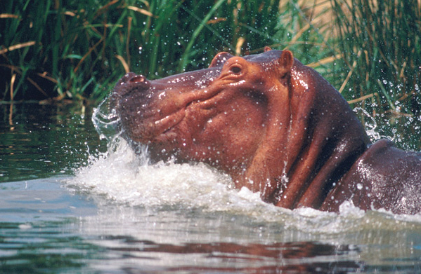 Size is an advantage to three-ton grass-eaters like the hippo whose enormous digestive system can hold food longer to fully extract nutrients. When hippos aren't grazing on land at night they like to forage in rivers where their specific gravity enables them to walk or run on the bottom as easily as on land. They can stay under water up to 30 minutes.