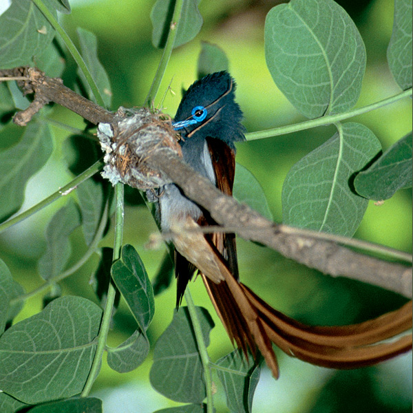 African paradise flycatchers weave airy, delicate-looking but durable nests of roots and grasses bound together with spider webs, sometimes adorned with lichens, often over water or a dry streambed. Eggs are cream with red and lilac spots. Males lose long, showy rufous tails after breeding.