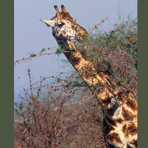 Giraffes are the world's tallest animals, up to 16 feet (5 m) tall and weighing about a ton. To maintain blood flow up to the brain their blood pressure is about twice that of other mammals; special circulatory valves keep them from fainting when their heads are lowered to forage or drink.