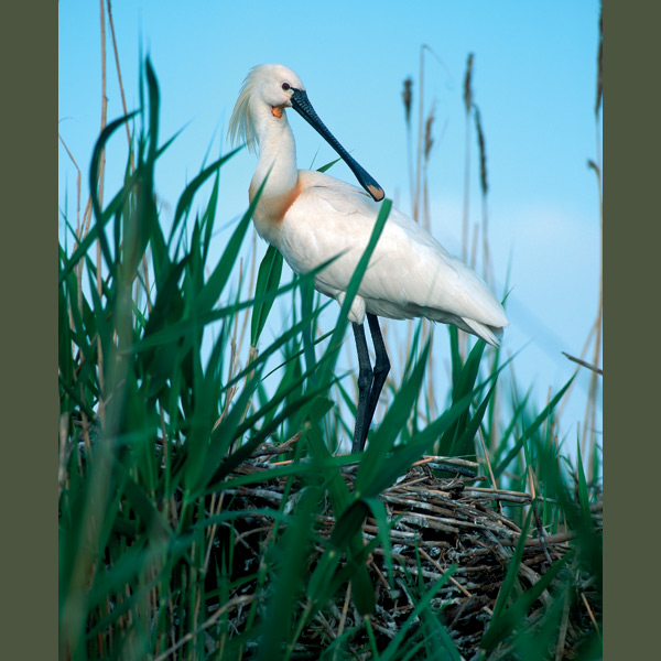 "Spoonbills feed by swishing their long, spatulate bills through shallow water until they encounter prey, such as water insects, fry, crustaceans, or small frogs, which they snap up and ingest. In breeding plumage, they develop distinctive ""horse-tail"" crests. They are voiceless except for grumbling sounds when strangers approach the nest. Found in shallows, reedy marshes, estuaries over southern Russia and central Asia, they winter in East Africa and South Asia."