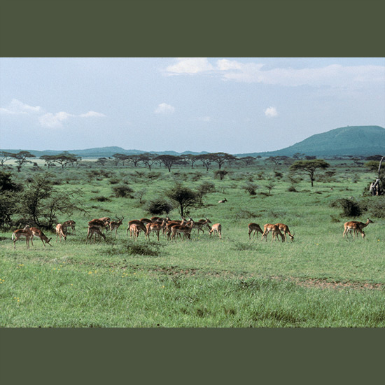 Female impalas form loose herds of 10 to 50 animals, wandering in and out of male territories, loosely guarded until they come into estrus, when they are tightly guarded by lyre-horned, roaring, grunting, snorting males. Both males and females are prodigious jumpers, easily leaping eight feet (2.5 m) high and spanning 30 feet (9 m) over bushes or even other impalas. The jumps are effortless and sometimes apparently just for their own delight. They are found in southeast African savannah and open woodlands.
