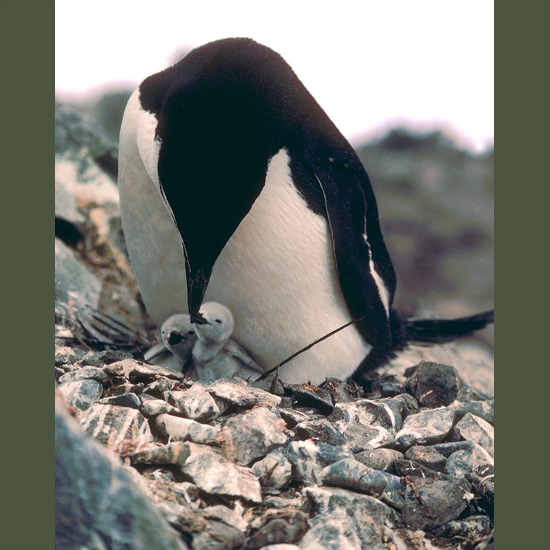 Chinstraps, named for distinctive black neck feathers, often seen standing about on ice floes, like to forage among pack ice. Smaller than either gentoos or Adelies, they pick the highest, rockiest, most inaccessible nest sites, pulling themselves up flipper by flipper around the Peninsula and on islands south of the Antarctic Polar Front. An estimated five million of them nest on little-visited South Sandwich Islands.