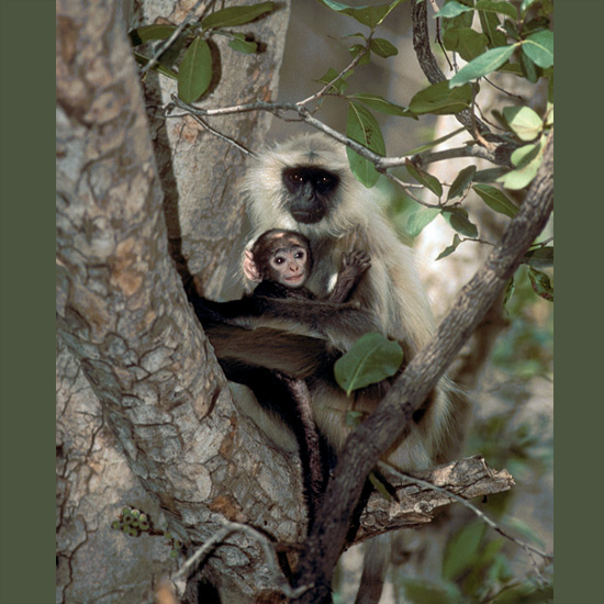 Hauman or black-faced langurs are the sacred monkeys of India, venerated by Hindus as the form taken by the monkey god Hauman. Their whooping calls are heard in tropical and dry scrublands, alpine and rain forests through Southeast Asia as noisy troops of up to 125 individuals feed on leaves, fruits, buds, and blossoms.
