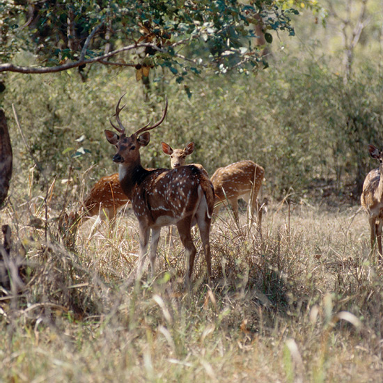 Large, spotted, reddish-fawn chital (or axis deer) with lyre-shaped antlers, called most beautiful of all deer, and a favorite tiger prey species, graze along shaded streams and grassy forest edges of India and Sri Lanka.