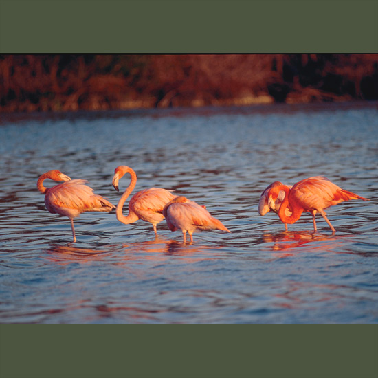 Flamingos feed using a method that is shared only by certain whales, first immersing their bills upside-down in shallow water, then sucking in and expelling water through lammellae or membranes which filter out and retain food organisms of appropriate size. Their bright plumage comes from small crustacea and algae which they ingest in saline lagoons and is lost in captivity unless they're fed similar substances, or even vegetable dyes.