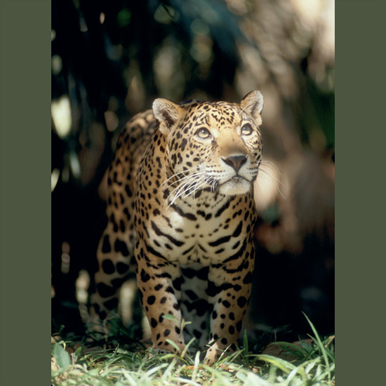 "Jaguars, whose native Indian name—yaguara—means ""killer that takes its prey in a single bound,"" tend to stalk prey on the ground, and, empowered by long hindlimbs, spring from ambush, killing with a single crushing bite through temporal skull bones. Pre-Columbian civilizations of Peru and Central America worshipped jaguars as gods, but overhunting for their beautiful spotted fur, as well as habitat destruction, has led to near-extinction over much of their range. They're still found in remote forests and scrublands in Central and South America to Argentina."