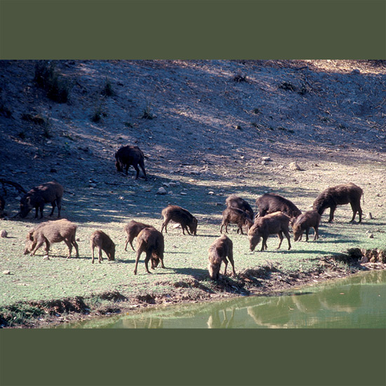 Wild boars range over much of the world, in some places having found their own way, in others domesticated, as early as 4900 BC in China and perhaps thousands of years earlier in Thailand, and introduced elsewhere by humans. They are well able to make their own way, and do, with razor-sharp tusks that may grow to nine inches (22 cm), acute senses of hearing and smell (as French truffle-hunters discovered) plus their own high intelligence, omnivorous appetites and adaptability to almost every habitat but deep snow.