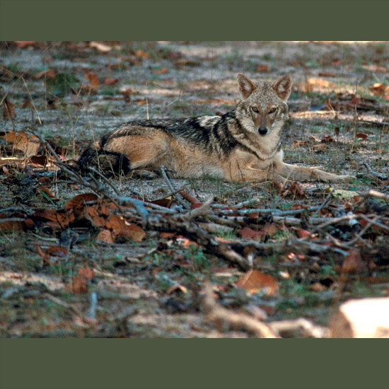Golden jackals have perfected communal living in which no pack member must work harder than another, and all share benefits. Offspring usually stay through the next litter to act as parents' helpers in hunting, feeding of new mother and young, and guarding pups. Their vocabulary of howling calls communicate location, declare territory, finding of food and cementing pair and family bonds. Their intelligence has led to inclusion in Middle East fables in similar roles as to Europe's sly fox. They occur in varied habitats of north and east Africa, southeastern Europe and across southern and southeastern Asia to Thailand and Sri Lanka.