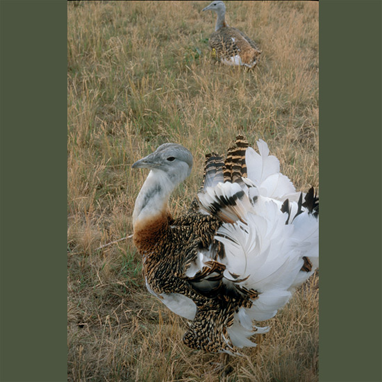 Great bustards, more than a yard tall (100 cm) weighing 45 pounds (20 kg) or more, largest birds that can fly, are drab until they go into courtship frenzy. In a visual display aimed at attracting females from thousands of yards away in their flat puszta habitat, males throw heads back and inflate feather-covered neck sacs to soccer-ball-size. Heads entirely disappear, wings turn inside out and tails raise over their backs until what remains is a towering pile of quivering white feathers, which then deflates and re-inflates repeatedly until females are sufficiently impressed to mate. They're increasingly rare in Hungary and eastern Europe, Turkey, Ukraine, China. Britain has started a restoration program in grasslands around Stonehenge.