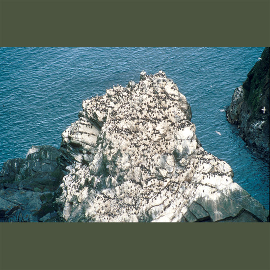"Guillemots spend most of their lives at sea, coming to land only to nest—but when they do, they come in tens of thousands, crowding together on rocky islands and sea cliffs on both sides of the North Atlantic—60,000 on Scotland's St. Kilda alone. Each pair lays a single egg which is pointed or pyriform in shape so it won't roll off narrow cliff edges, since they use no nesting material. They are—like other members of the auk family—sometimes known as penguins of the northern hemisphere, black and white with bolt-upright posture, rear-end legs that make them awkward on land but swiftly graceful at sea, where they literally ""fly underwater."""