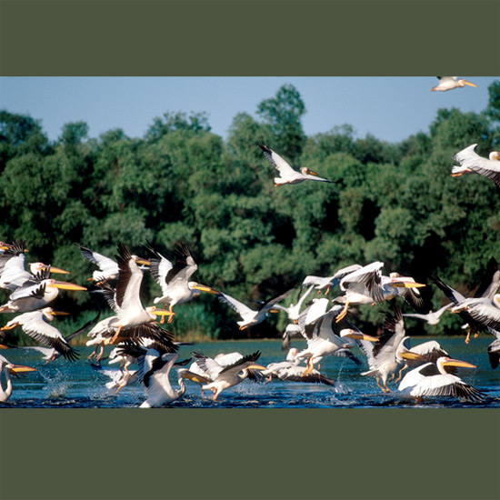 Sociable white pelicans nest together, fly together and even feed cooperatively together, flying low over water in tight V-formation until they find a school of fish close to the surface. Then they flap their 10-foot (3-m) wingspans and dip bills in water, driving fish to shallows where they scoop up as many as they can in expandable bills which can hold over three gallons (11 liters) of food and water. They then strain out the water and consume the rest whole. Since their daily requirement is only two to four fish, they're usually through by mid-morning and can spend the rest of the day basking and preening.