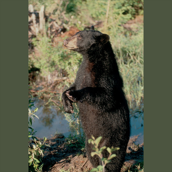 Many animals hibernate but few as totally as American black bears, which can go for 100 days without eating, drinking, urinating, defecating, or exercising. Heartbeats in midwinter can fall to eight an hour. This works out well for birth of young, since mating occurs in summer but fertilized eggs are not implanted to start growing until hibernation begins. This way they are born in midwinter, naked and blind, weighing 7–16 ounces (200–450 g) each, smallest birth weight relative to adult size of any placental mammal—but by the time they emerge from dens, they're ready to follow mothers around. Black bears range throughout North America, from frozen tundra to Florida Everglades.