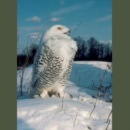 Dense feathers cover all but sharp, curved claws of snowy owls, maintaining body heat of 100oF (38–40oC) when temperatures plummet in their circumpolar tundra habitat to –60oF (–52oC). Standing 20–27 inches (50–68 cm) with wingspans more than twice that, they locate prey by hearing—stiff feather discs direct faintest sounds to ear openings—plus overlapping binocular vision with light-gathering properties many times that of humans', and flexible necks that swivel for a 270-degree view. Prey varies widely but they rely most on lemmings, especially when nesting, so when these crash every few years, owls temporarily move south.