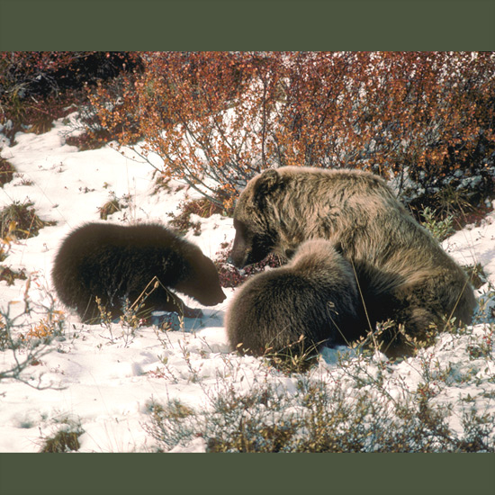 "The power and strength of grizzly or brown bears—the names are interchangeable—are legendary around the world. A first-hand account tells of one ""running full-tilt down a mountainside with a 300-pound bighorn sheep in its jaws, the sheep's legs flapping like a man's tie in the wind."" Another tells of one killing a large black bear in Yellowstone National Park with a single blow that knocked its victim against a tree five yards away. As if showing the confidence engendered by such power, this mother grizzly lies vulnerably on her side to nurse her cubs."