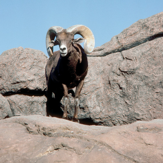 Bighorn sheep are known for dramatic head-to-head clashes between males in which rams equipped with curled horns weighing 30 pounds or more (14 kg) crash into rivals at speeds up to 20 miles an hour (32 kph) for 24 hours or more, ending when one ram concedes. To protect themselves in these duels males have evolved double-layered skulls supported by bony struts plus massive tendons linking skulls to spines to help heads pivot and recoil from blows. Shock-absorbing elastic pads enable them to leap 20 feet (6 m) or so along rocky ledges just two inches (5 cm) wide. Once numerous in the American west, they are now endangered victims of human activities such as overhunting, trophy collection, and depletion of water holes.