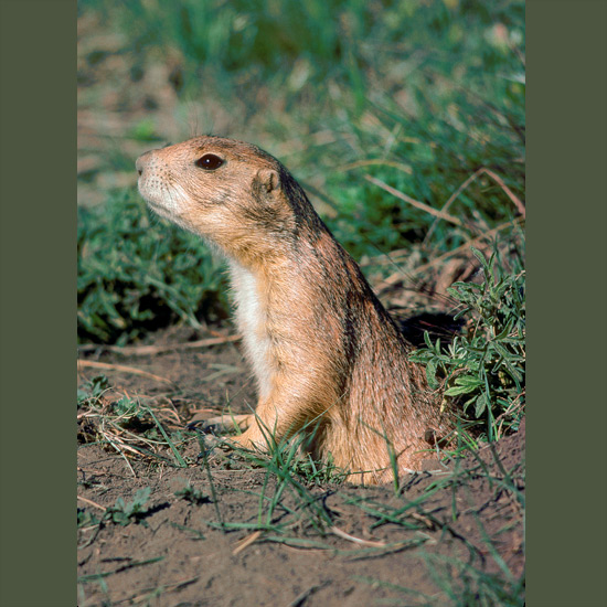 """Prairie dogs may have most sophisticated of all animal languages, recent studies suggest, able, for example, to communicate warning calls specifically identifying at least eight different predators. These intelligent ground squirrels—unrelated to dogs—construct complicated burrows extending 100 feet (30 m) or more. Their colonies or """"towns"""" historically spread over much of the western U.S. One, in Texas, covered 25,000 square miles (65,000 km2) and housed some 400 million """"dogs."""" They have been widely eradicated due to claims—unjustified by some views—that they destroy grazing range, and are being considered for threatened status."""