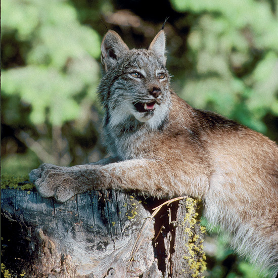 "Nowhere in nature are predator-prey destinies more intertwined than furry lynx and snowshoe hares, which closely resemble one another in dense pelage and broad, spreading hairy paws, able to support both species in snow. When hare numbers rise, lynx females ovulate more, mate more often, more successfully, and have larger litters of which more survive. When hare numbers plummet, lynx decline and so do their offspring, even when alternate prey is available. Lynx live deep in coniferous forests and mountains of Canada and the northern United States.Arctic fox fur has the highest insulation value of any mammal, useful in treeless arctic tundras where they live in Eurasia, North America, Iceland, and Greenland. Soles of their feet are covered entirely with fur—hence their scientific name, LAGOPUS or ""rabbit foot."" Small, rounded ears restrict heat loss. Long, thick, bushy tails reach around them like fur stoles when they curl up to sleep, able to endure temperatures of –70oF (–60oC). No other canid species lives so far north."
