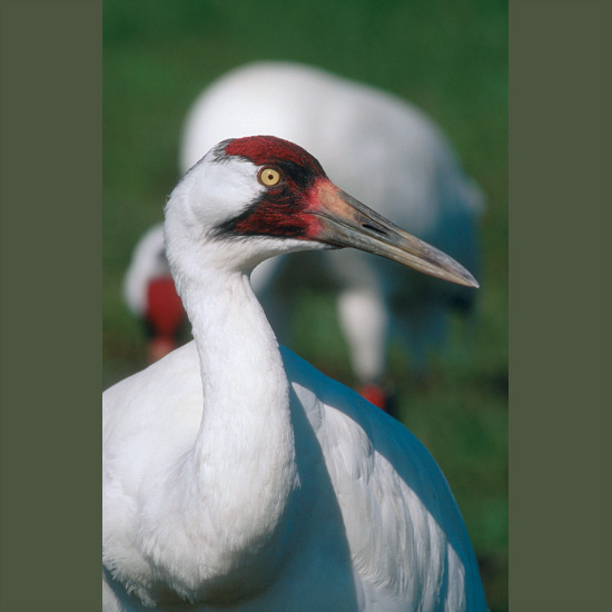 "Whooping cranes are America's most beloved endangered species, partly for their majestic, snow-white beauty and ringing call, that of ""no mere bird,"" said naturalist Aldo Leopold, but ""symbol of our untamable past""—and partly their perilfraught lives. Twice yearly these tallest North American birds, standing five feet (1.5 m) with eight-foot (2.6 m) wingspans, fly 2,500 hazardous miles (4,300 km) between remote nesting grounds in Canada's Wood Buffalo National Park, threatened by industrial development, and winter quarters in Aransas National Wildlife Refuge in Texas, vulnerable to passing tankers' oil spills. In between they are still occasionally shot or die colliding with power lines. Still, their numbers, once down to 15, at recent count showed 422."