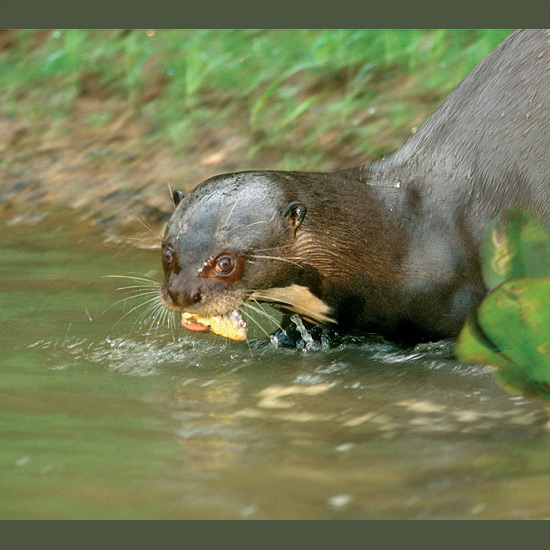 Giant river otters' metabolism— 20 per cent higher than most similarly sized animals—keeps them alert for location of prey, predators, family, and everything else in their world, with quick reactions to match. It makes it possible—also necessary because of high-energy demands—to dart with webbed feet after swiftswimming fish or, for extra boost, folding feet and legs to become speeding torpedoes, propelled by ridged, flattened tails almost half their sinuous, up-to-six foot (1.8m) length. Once wide-ranging in the Amazon basin, they remain rare due to poaching for velvety chocolate-brown fur, habitat disturbance, and pollution.