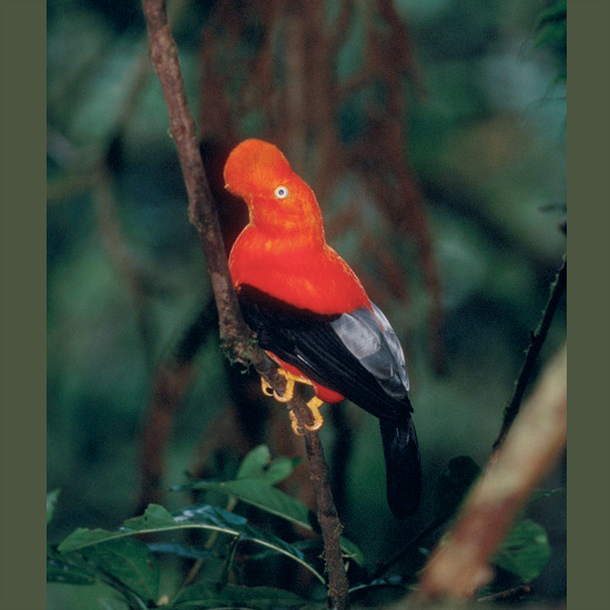 Cock-of-the-rock males, heads enveloped in scarlet-orange plumage covering all but their eyes, give a show for females on a communal courtship lek where a dozen or more gather in deep mountainous forest and serially perform. One dances, tossing his head, calling, spreading wings and tail, hopping on one foot, then another, posing dramatically for moments at a time, and finally retiring to let another take his turn. A grayish female shows herself, and all males as if signaled drop to the ground and wait until she flutters down and pecks one on his rump. He hesitates as if stunned by his good fortune, then hops on her back for a quick mating. Then she's off, to handle the rest herself.