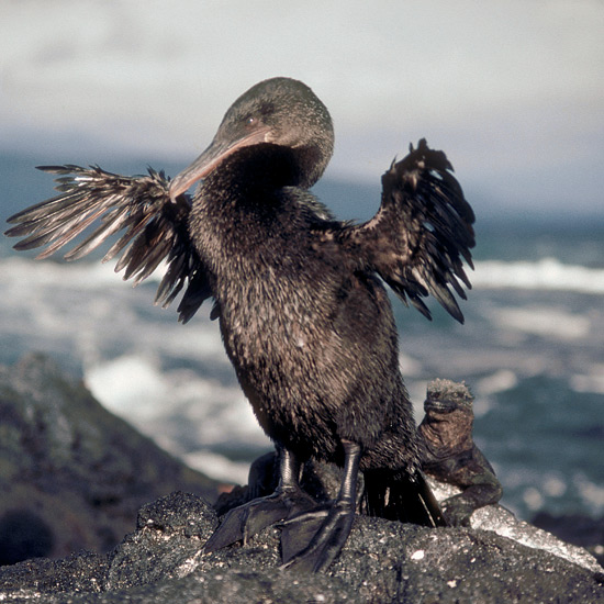 Flightless cormorants of the Galapagos Islands have lost much of the breastbone keel that supports flight muscles in other birds. They make up for it with heavier, stronger legs and feet that propel them through water with powerful kicks to capture squid, octopus, eels and bottom-living fish in rich upwellings of cold Cromwell and Humboldt currents off Fernandina and Isabela islands, their only homes. After fishing, they hang their skimpy vestigial wings out to dry as do other cormorants, obeying ancestral orders that no longer apply to their situation.