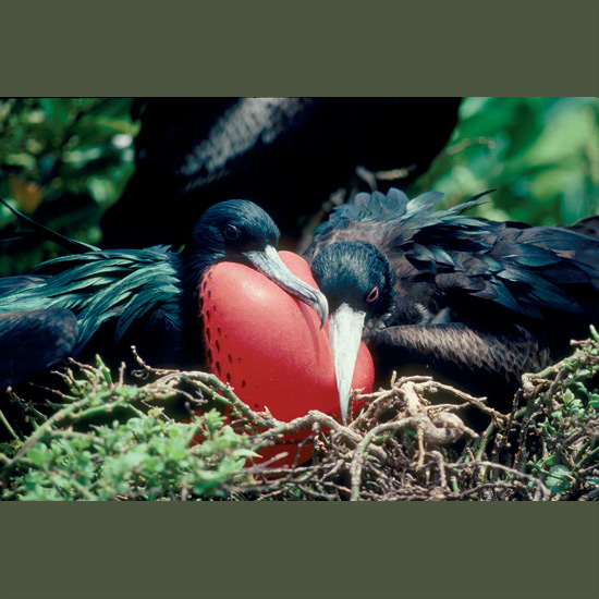 Frigatebirds are unmistakable among seabirds, great black cut-outs soaring against the sky— equally distinctive later when males attract mates by inflating throat pouches into spectacular crimson balloons which they keep expanded through much of the breeding cycle. Frigatebirds come to land only to nest, often on coastal and remote islands such as the Galapagos, Ascension and Aldabra, raising a single chick with the same feisty disposition as its parents, able early to protect itself while they're out foraging—which they notoriously do by pirating other birds' catches. But there's a reason: frigates have smaller oil glands, so dropping into water would run risk of saturating plumage and becoming un-airworthy.
