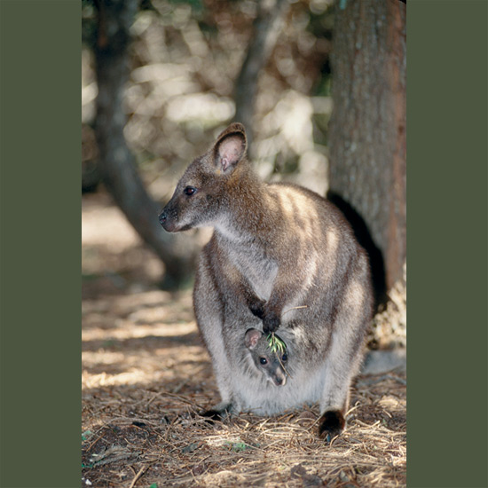 Tammars are one of the smallest wallabies, hardly larger than big rabbits, with equally small babies, weighing a minuscule 0.01 ounce (0.3 g) when they leave the birth canal and make their way to their mother's pouch. So tightly do they attach themselves to their mother's breasts that the first European who saw these small kangaroos, Dutch sea captain Francisco Pelsaert in 1629, thought the young grew from their mother's mammary glands. Tammars can survive drinking almost no water, thereby conserving nitrogen, making it possible for them to thrive in near-desert conditions with scanty, protein-poor vegetation.