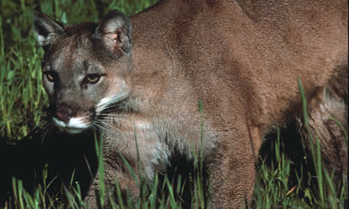 Panther Mountain Lion