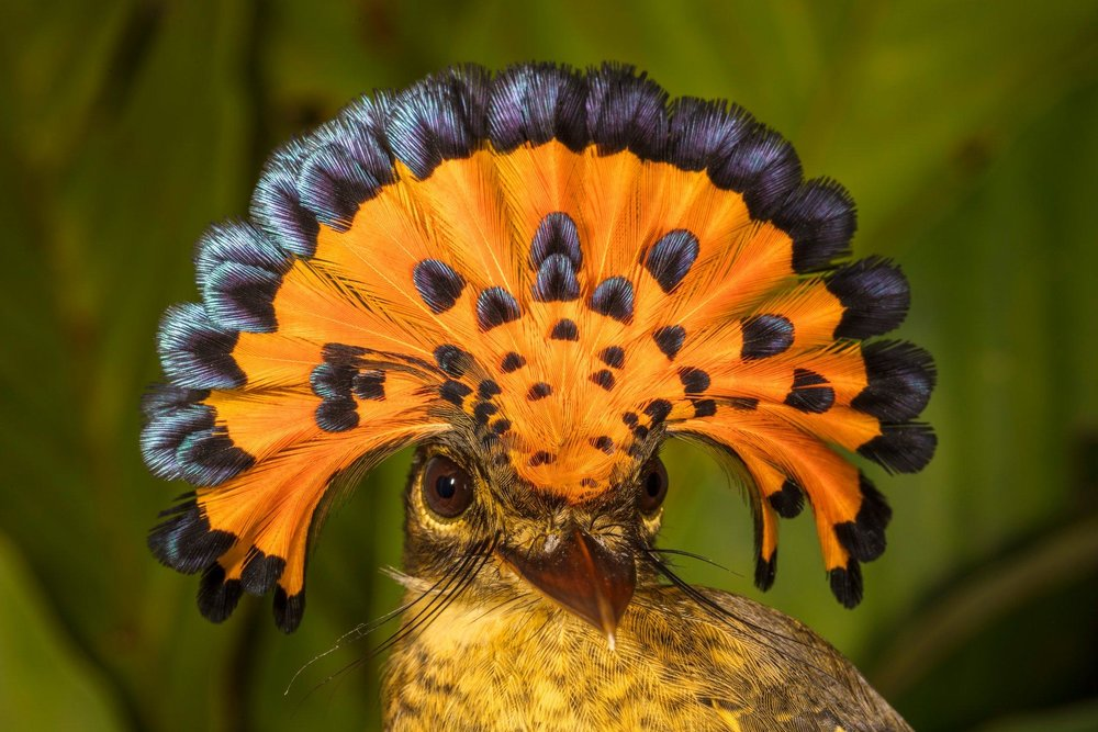 Royal flycatcher - Credit: Rob Wallace/Wildlife Conservation Society