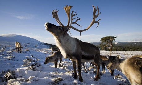 Reindeer-in-Cairngorms-007.jpg